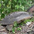 Florida Soft Shell Turtle - By Mandy D'Andrea
