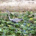 Great Blue Heron - By ERMD Staff