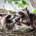 Raccoons By Tabitha S Cook 1