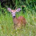 White Tailed Deer By Tabitha S Cook 1