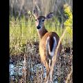 White Tailed Deer By Tabitha S Cook